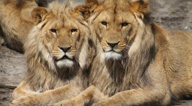 Dua Singa Dinyatakan Terpapar Covid-19 di Taman Safari India