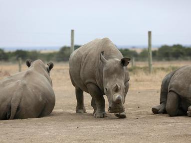 Fatu (tengah) dan Najin (kiri), dua badak putih betina yang tersisa di dunia merumput di Ol Pejeta Conservancy, Laikipia, Kenya, Jumat (2/3). Sementara Sudan (kanan), badak putih terakhir di dunia kondisinya memburuk. (AP Photo/Sunday Alamba)