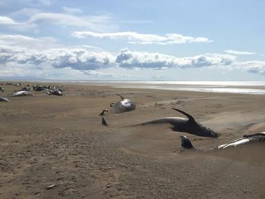 Puluhan paus pilot mati terdampar di pantai semenanjung Snaefellsnes, Islandia (18/7/2019). Sekitar 50 paus pilot mati di pantai terpencil di Islandia. Paus pilot tersebut diperkirakan mati karena lama terdampar di daratan pantai.(David Schwarzhans via AP)
