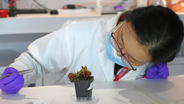 Luo Yifei, mahasiswa PhD Sekolah Ilmu dan Teknik Material Nanyang Technological University memasang elektroda pada permukaan tanaman penangkap lalat Venus di laboratorium, Singapura, 24 Maret 2021. Ilmuwan mengembangkan sistem teknologi tinggi untuk berkomunikasi dengan tumbuhan. (Roslan RAHMAN/AFP)