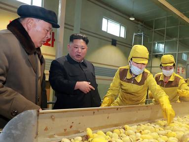 Pemimpin Korea Utara Kim Jong-un melihat produksi kentang  di pabrik Samjiyon Potato Farina di Samjiyon, Kamis (4/4). Tahun lalu Kim Jong-un mengunjungi pabrik kentang saat kunjungan 19 harinya ke Samjiyon County di Provinsi Ryanggang yang berbatasan dengan China. (AFP Photo/KCNA VIA KNS)