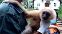 Seekor owa diserahkan warga Desa Batu Horing, Kecamatan Batang Toru, Tapanuli Selatan, Sumatera Utara (Sumut) ke Balai Besar Konservasi Sumber Daya Alam (BBKSDA) Sumut