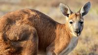 Ilustrasi kanguru (dok.unsplash)