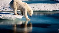Ilustrasi beruang kutub (AFP/Mario Hoppman)