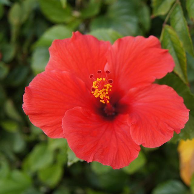 6 Manfaat Kembang Sepatu Untuk Kesehatan Jadi Teh Herbal Alami Hot Liputan6 Com