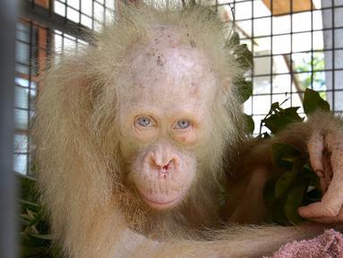 Seekor Orangutan albino ditemukan penduduk di Desa Tanggirang telah menyita perhatian media internasional, Kapuas, Kalimantan Tengah, Minggu (30/4). (AP/Indrayana/BOSF)