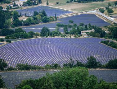 Ladang Lavender