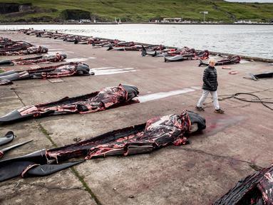 Seorang pria berjalan di antara paus pilot di dermaga di Jatnavegur, dekat Vagar, Kepulauan Faroe, Denmark, Rabu (22/8). Penangkapan paus pilot di Kepulauan Faroe adalah legal dan sudah menjadi tradisi. (MADS CLAUS RASMUSSEN/RITZAU SCANPIX/AFP)