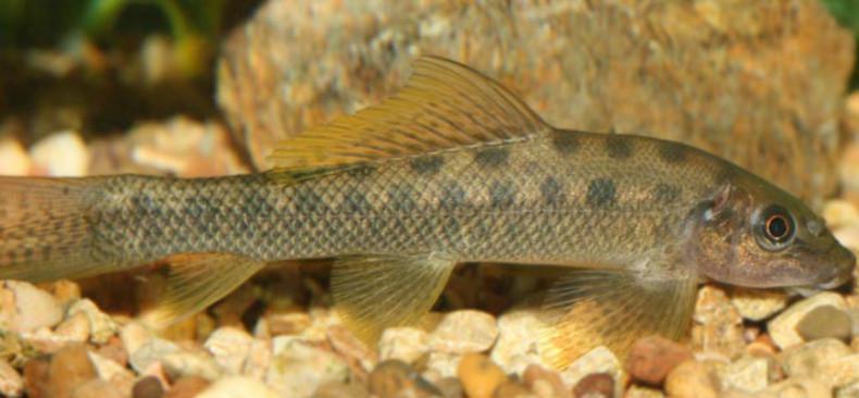 Ilustasi ikan penyedot (Gyrinocheilus aymonieri). (Sumber thinkfish.co.uk)