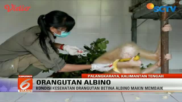 Orangutan albino yang dirawat di pusat rehabilitasi di Kalimantan Tengah kondisinya makin membaik.