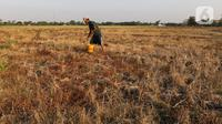 Petani menanam tanam pare setelah mengalami gagal panen di Desa Sukaringin, Sukawangi, Kabupaten Bekasi, Jawa Barat, Jumat (10/9/2021). Menurut petani, musim kemarau membuat sawah kekeringan dan gagal panen yang sudah berlangsung selama delapan bulan. (Liputan6.com/Herman Zakharia)