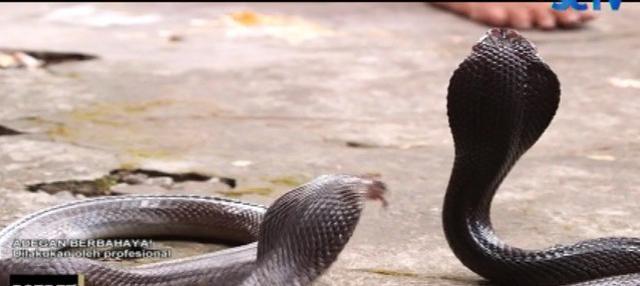 Tak cuma bermodal berani dan nekat, Nur juga mesti paham kapan waktu yang tepat menemukan kobra.