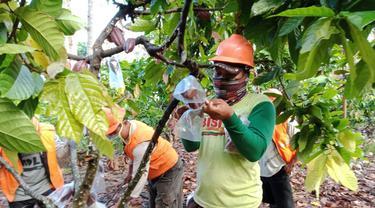 Tingkatkan Kualitas Kakao, Petani Beri Masker Pelindung Khusus