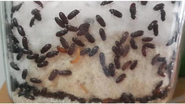Semut Jepang dipercaya bisa menormalkan kadar gula dan tekanan darah sehingga baik dikonsumsi penderita diabetes dan hipertensi dan Riki Agung Prasetio, pengemudi Toyota Fortuner B 210 RFD, terancam hukuman 6 tahun kurungam penjara.