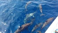 Beberapa tahun sebelumnya puluhan Lumba-Lumba itu sebelumnya menjadi daya tarik wisata bahari Pulau Sapuka.