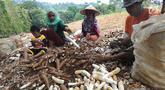Sejumlah petani memanen singkong di kawasan Gunung Geulis, Bogor, Kamis (22/8/2019). Petani singkong mengeluhkan harga singkong sebagai bahan tapioka turun drastis di musim kemarau dari Rp 120 ribu/ pikul (70kg) menjadi Rp 60 ribu/pikul diduga akibat singkong yang melimpah. (merdeka.com/Arie Basuki)