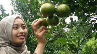 Di area ini anda bisa memetik sendiri jeruk Garut segar langsung dari pohonnya, (Liputan6.com/Jayadi Supriadin).
