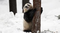 Panda wanita Jin Bao Bao, bernama Lumi dalam bahasa Finlandia bermain salju pada hari pembukaan Resort Snowpanda di Kebun Binatang Ahtari, di Ahtari, Finlandia, (17/2). (Roni Rekomaa / Lehtikuva via AP)