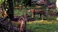 Harimau Sumatera berkeliaran di perkebunan dan permukiman warga Simpang Kanan, Desa Tanjung Simpang, Kecamatan Pelangiran, Kabupaten Indragiri Hilir, Riau. (Foto: Istimewa/Liputan6.com/M Syukur)