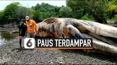 Seekor paus biru sepanjang 12 meter ditemukan mati terdampar di pulau Yapen, Papua. Petugas menemukan paus tersebut dengan banyak luka di bagian tubuhnya.