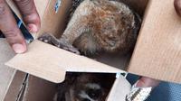 Satwa langka jenis kukang diperjualbelikan di Kabupaten Agam. (Liputan6.com/ Dok BKSDA Sumbar)