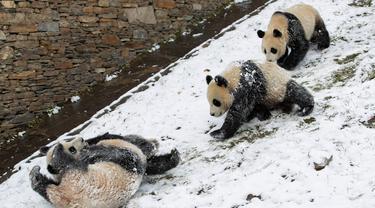 Beberapa ekor panda raksasa tampak asyik bermain usai salju turun di Pusat Konservasi dan Penelitian Panda Raksasa China basis Shenshuping di Cagar Alam Nasional Wolong, Provinsi Sichuan, China (17/12/2020). Panda-panda tersebut sangat menikmati turunnya salju untuk bermain. (Xinhua/Jiang Hongjing)
