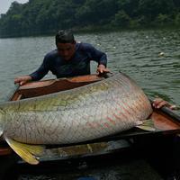Nelayan berusaha naik ke perahu usai berhasil menangkap ikan arapaima atau Pirarucu di Sungai Amazon, Volta do Bucho, Ituxi Reserve, Brasil, 20 September 2017. Salah satu jenis ikan purba ini merupakan ikan air tawar terbesar di dunia. (CARL DE SOUZA/AFP)