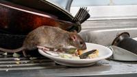 Keberadaan tikus di rumah sangat mengganggu. Yuk, usir sang tamu tak diundang dengan tips-tips ini. (foto: shutterstock)