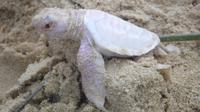 Seekor kura-kura albino yang sangat langka ditemukan di sebuah pantai di Australia.