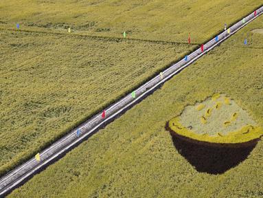 Sawah yang akan dipanen di sebuah area persawahan di Kota Fujin, Provinsi Heilongjiang, China timur laut (21/9/2020). Dalam beberapa hari terakhir, sekitar 2.667 hektare sawah di kota tersebut telah memasuki musim panen. (Xinhua/Zhang Tao)