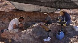 Dinosaurus ini juga lebih berat tujuh ton dari temuan sebelumnya yakni Argentinosaurus, yang memiliki berat 70 ton. Para ilmuwan percaya ini spesies baru titanosauria, Sabtu (17/5/2014) (AFP PHOTO / Museo Egidio Feruglio).
