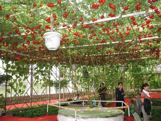 Pohon tomat ini menjadi salah satu daya tarik di Walt Disney World Resort   Photo: Copyright odditycentral com