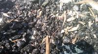 Tangkapan nelayan Balikpapan yang mati terpapar limbah batu bara dan tak laku dijual. (foto : Liputan6.com / abelda gunawan)