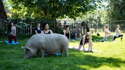 Seekor babi berperut buncit makan rumput Ketika orang-orang berpartisipasi dalam sesi yoga dengan babi selama penggalangan dana amal di The Happy Herd Farm Sanctuary, di British Columbia, Kanada, 26 Juli 2020. (Darryl Dyck/The Canadian Press via AP)