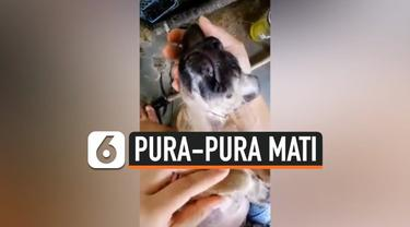 Momen lucu seekor anjing ketika sang pemiliknya mengajaknya mandi. Anjing tersebut menggunakan tipuan dengan berpura-pura mati untuk menghindari mandi.