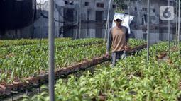 Pembeli memilih anggrek jenis dendrobium di tempat pembibitan budi daya anggrek, Pocis, Kecamatan Setu, Tangerang Selatan, Banten, Senin (31/8/2020). Anggrek dendrobium pesanan pembeli akan dikirim ke berbagai daerah, kebanyakan pemesan dari Kalimantan dan Sulawesi. (merdeka.com/Dwi Narwoko)