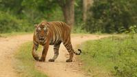 Ilustrasi harimau (wildtrails)