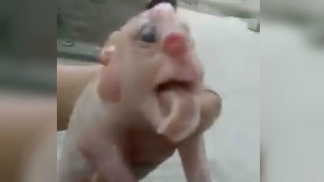 64 Gambar Babi Berwajah Manusia HD