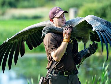 Melatih Burung Pemangsa Terbesar di Dunia