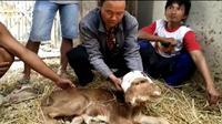 Seekor sapi di Grobogan lahir dengan dua kepala, dua mulut, dan empat mata. Dasas-desus warga pun muncul, mengaitkannya dengan hal mistis. (Liputan6.com/ Felek Wahyu)