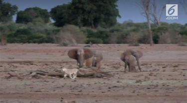Kawanan gajah di Kenya terlihat mengejar seekor singa yang berjalan sendirian.