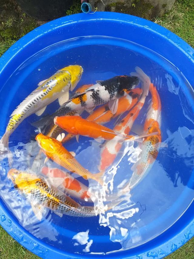 Beberapa ikan koi hasil budidaya pecinta koi Garut, nampak terlihat indah dengan perpaduan sejumlah warna di tubuhnya.