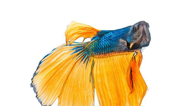 Cara Ternak Ikan Cupang Mudah Dan Bisa Jadi Usaha Rumahan Hot Liputan6 Com