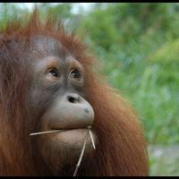 Orangutan | Via: facebook.com