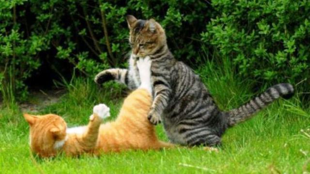 Ini Alasan, Mengapa Kucing Suka Berkelahi Satu Sama Lain