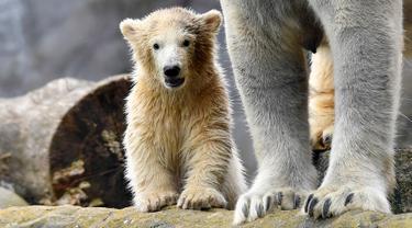 Bayi beruang kutub melakukan langkah pertamanya di luar kandang kebun binatang di Gelsenkirchen, Jerman, 13 April 2018.  Bayi beruang yang lahir pada Desember tahun lalu itu tinggal bersama sang induk yang bernama Lara. (AP Photo/Martin Meissner)