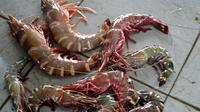 Lobster dan udang Tiger hasil tangkapan nelayan. (Foto: Liputan6.com/Muhamad Ridlo)