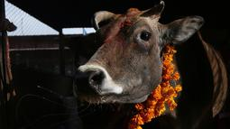 Seekor sapi terlihat dihiasi karangan bunga marigold setelah disembah selama festival Tihar di Kathmandu, 28 Oktober 2019. Sapi dianggap suci oleh umat Hindu dan disembah selama festival Tihar, salah satu festival paling penting yang dipersembahkan untuk Dewi kekayaan Laxmi. (AP/Niranjan Shrestha)