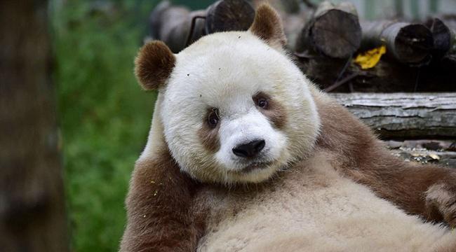 Qizai adalah panda yang sempat ditinggalkan sang induk dan diintimidasi teman-temannya | Photo: Copyright boredpanda.com