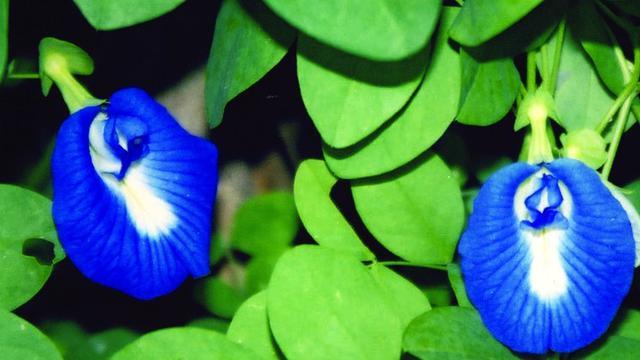 Clitoria ternate atau bunga telang